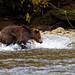 Brown Bear Chasing Salmon (Martin Potter)