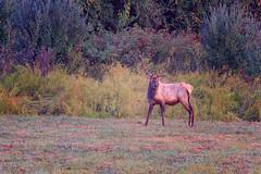 Not So Lazy Bull Elk