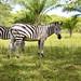 Wild Zebras by Ardle Photo