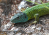 Iberian emerald lizard - Photo (c) Agustín Povedano, some rights reserved (CC BY-NC-SA)