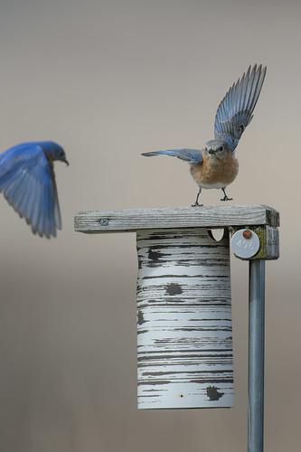 Bluebirds-49877.jpg