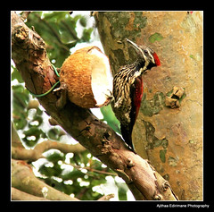 Wood Pecker-1