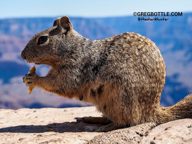 Grand Canyon Ground Squirrel Pictures 74