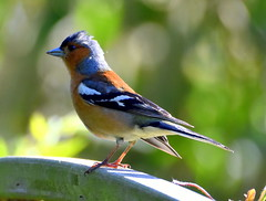 Chaffinch on the fence.