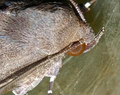 white tip tan and brown owlet moth Noctuidae Airlie Beach P1100095
