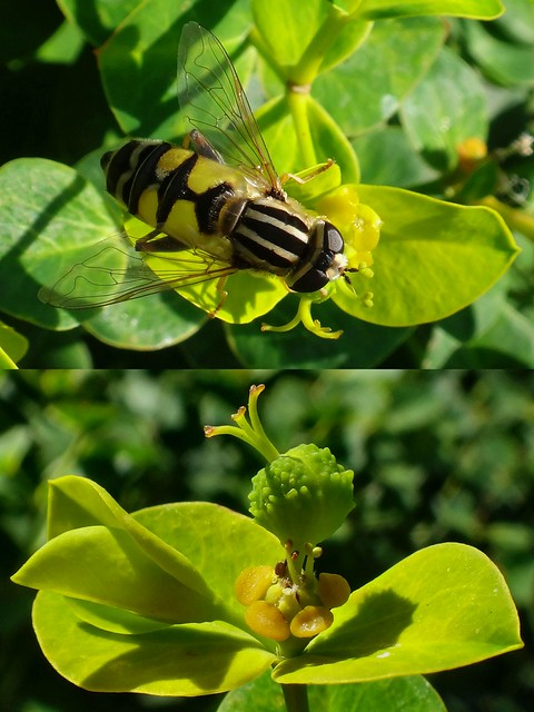 Green Threesome. Helophilus trivittatus, Three-Banded Hoverfly, on Three-Styled Wood Spurge, Euphorbia amygdaliodes, Nieuw Sterrebos, Groningen, The Netherlands