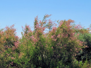Tamarix ramosissima (AP4H1382 1PS)