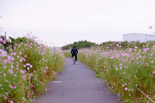 富士見江川コスモスロード220161013-DSCF1501 (2)-t