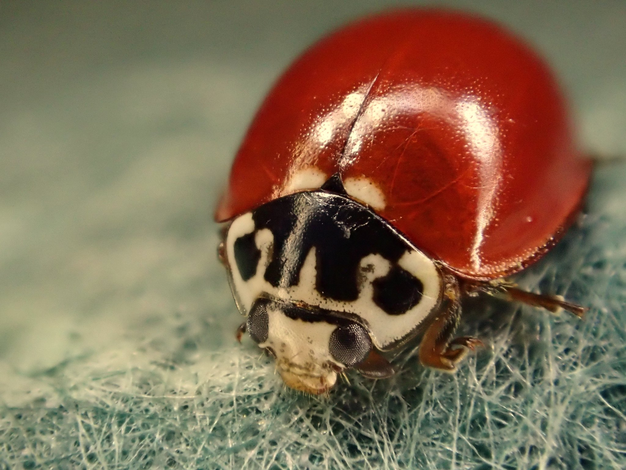 Western Blood-Red Lady Beetle or Ladybug Cycloneda polita #23