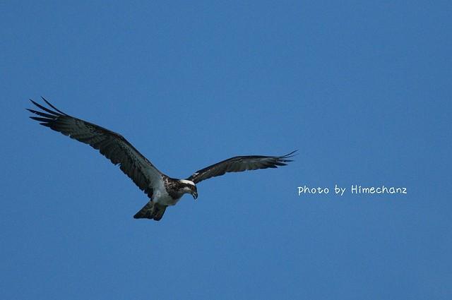 本日最初の猛禽類「ミサゴ」名前が近いから覚えやすい。