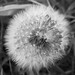 Dandelion Head by Last Seen in Md