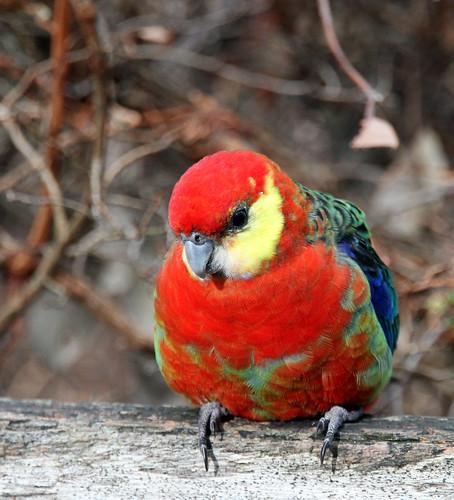 Pemberton - Gloucester Tree - Parrot Sitting Cute