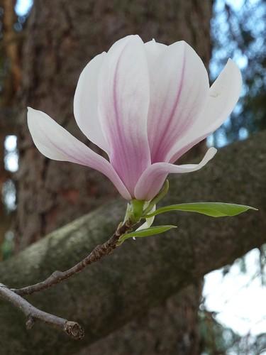 Wheaton, IL, Pink Magnolia Flower
