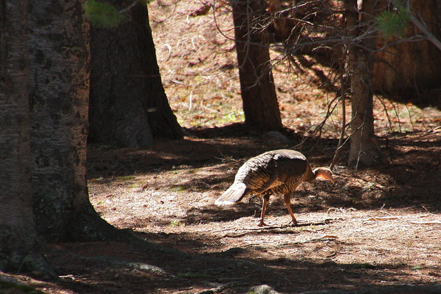 Wild Turkey in the Woods
