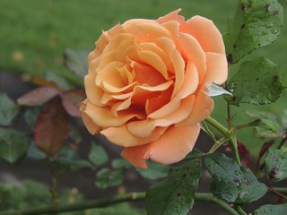 New England Rose