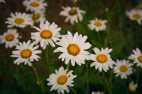 Daisies by bump