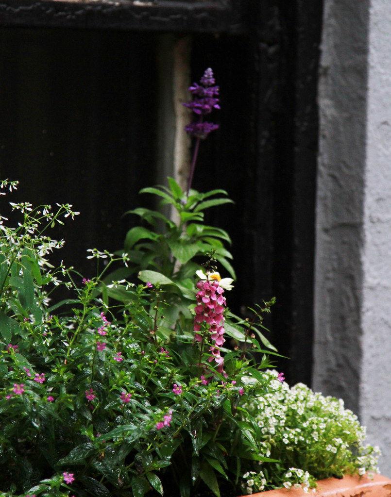 mexican heather, euphorbia, salvia, angelonia