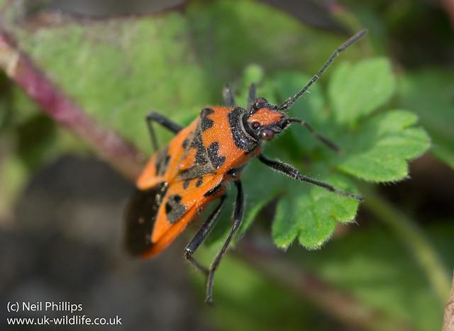Corizus hyoscyami plant bug-3