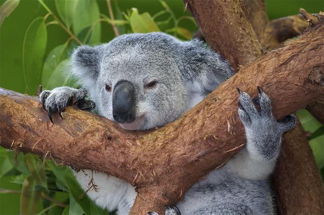 Koala-t visit to Riverbanks Zoo