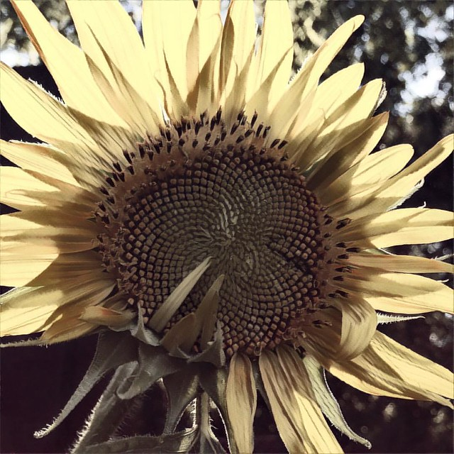 Sunflower #sunflower #gardens #patiogarden #flowers #prisma