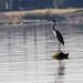 IMGPH90904_Fk - Ashland Park - Ohio River - Birds by David L. Black