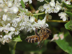 Bee on knotweed