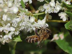 Bee on knotweed
