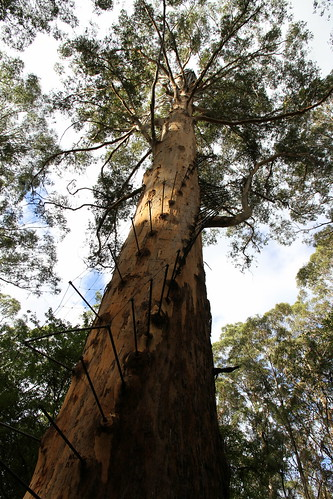 Pemberton - Gloucester Tree - Another View