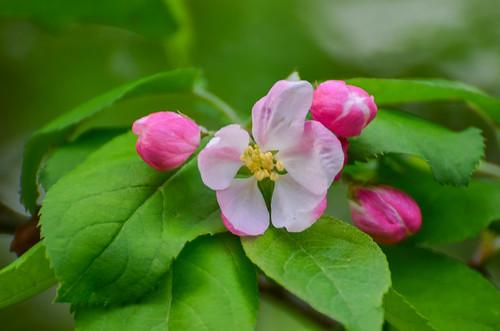 <p><i>Malus</i> sp., Rosaceae<br /> Maplewood Conservation Area, North Vancouver, British Columbia, Canada<br /> Nikon D5100, 70-300 mm f/4.5-5.6<br /> April 28, 2013</p>