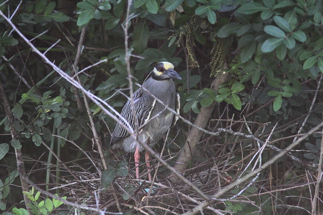 Yellow-crowned Night-Heron 2-5- nonHT male with eggs 20130519