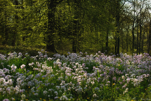 An array of Cuckoo Flowers.