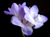 1464-blue freesia by lvira2009