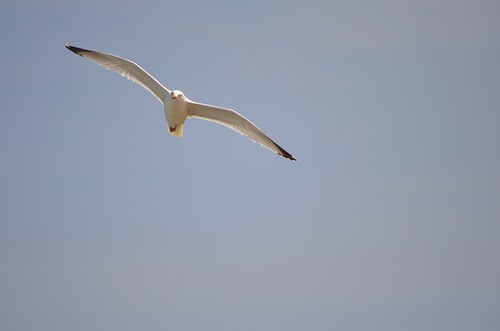 Cornish seagull by PhotoPuddle