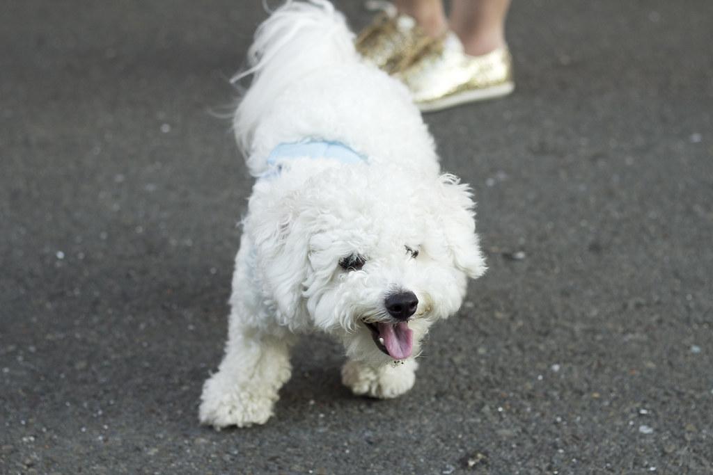 bichon frisee, fluffy white puppy, cute bichon frisee