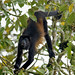 Mantled Howler Monkey - Photo (c) bathyporeia, some rights reserved (CC BY-NC-ND)