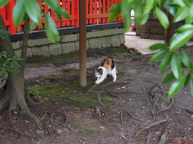 伏見稻荷大社樹下納涼的三色貓