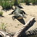 Small photo of San Diego Zoo: African Slender-snouted Crocodile