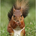 Red Squirrel by bojangles_1953