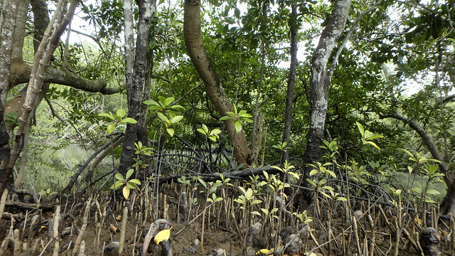 Natural mangrove sapling recruitment at Pulau Ubin