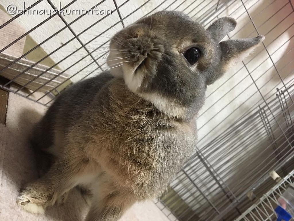 おはよう!🐰 #うさぎ #うさぎのもんたん #rabbit #bunny #もふもふ #ペット #pet #love #cute #fluffy #instagood #followme #kawaii #daily #lapin #ふわもこ部 #動物 #instabunny #coniglio #petphotography #animallovers #kaninchen #cuniculus #conejo #兎子 #goodmorning #おはよう #おはようございます #何かアド