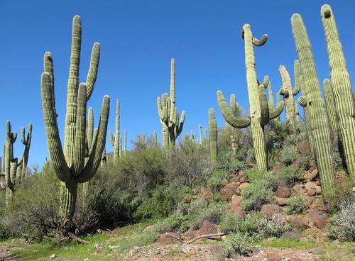 arizona cactus southwest nature cacti outdoors spring desert hiking greenery landofthegiants saguaro cactaceae exploration discovery sonorandesert cavecreek saguarocactus maricopacounty carnegieagigantea giantsaguaro spurcrossranchconservationarea zoniedude1 dragonflytrail canonpowershotg11 earthnaturelife desertspring2013