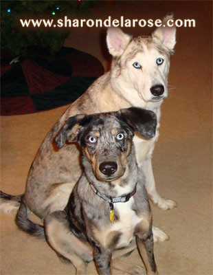 Catahoula Leopard Dog and Ausky Dog