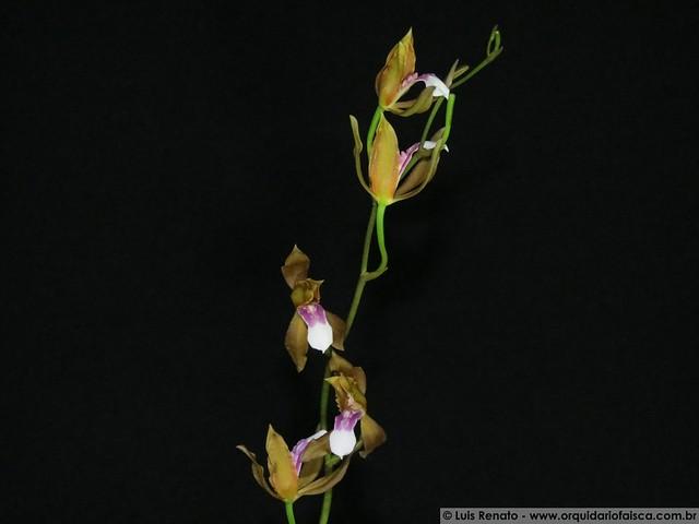1380 - Miltonia russelliana