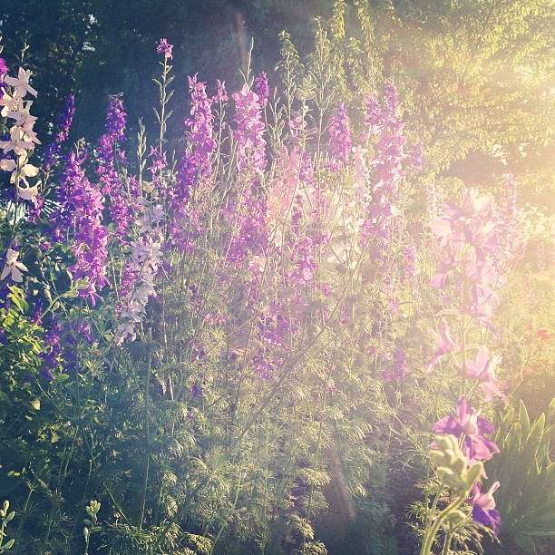 Larkspurs are dreamy.