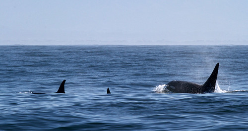 Orca in Monterey Bay