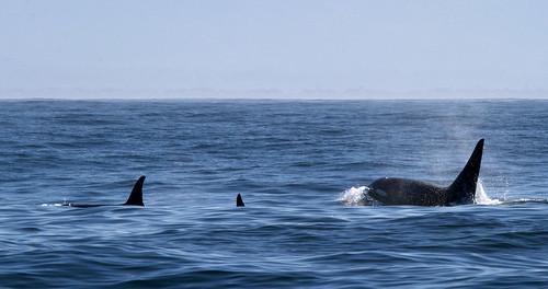 Orca in Monterey Bay