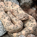 Speckled Rattlesnake (Lee Morgan)