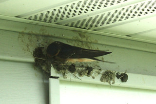 Barn swallow building