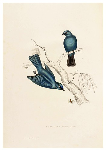 008-Muscicapa Melanops-A Century of Birds from the Himalaya Mountains-John Gould y Wm. Hart-1875-1888-Science Naturalis