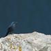 Melro azul - Monticola solitarius - Blue Rock Thrush